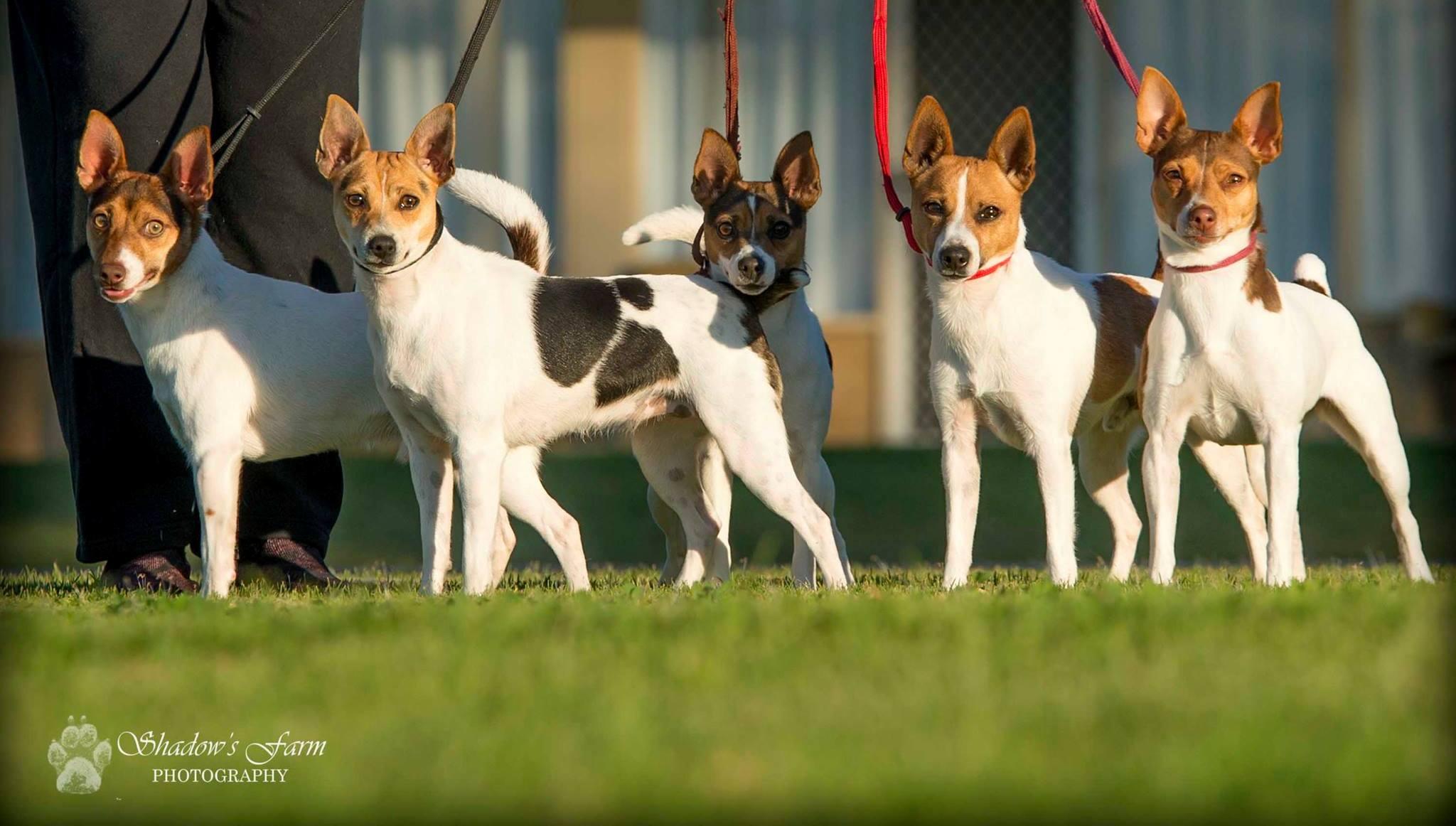 фото собаки породы тентерфилд терьер